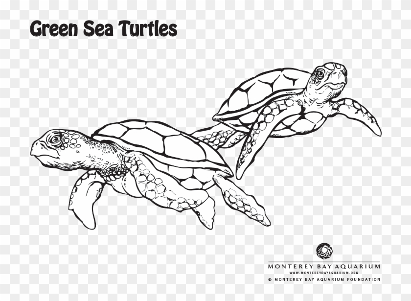- Green Sea Turtle Coloring Page - Green Sea Turtle Coloring Pages - Free  Transparent PNG Clipart Images Download