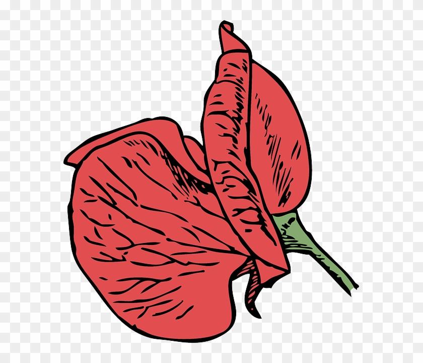 Blossom Corn Poppy Poppy Red Poppy Flower Plant Sweet Pea