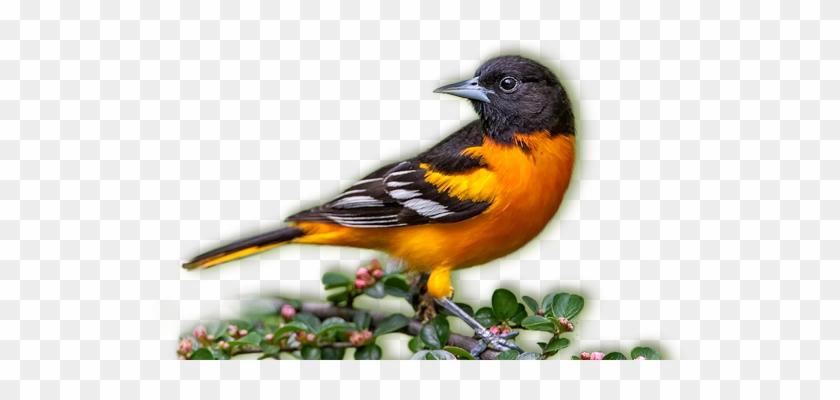 Baltimore Orioles - Baltimore Oriole Bird Png #673572