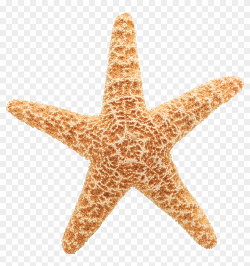 Starfish Cliparts Vector - Star Fish White Background #673966