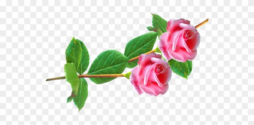 Изображение Для Плейкаста - Розы На Прозрачном Фоне Клипарт #700606