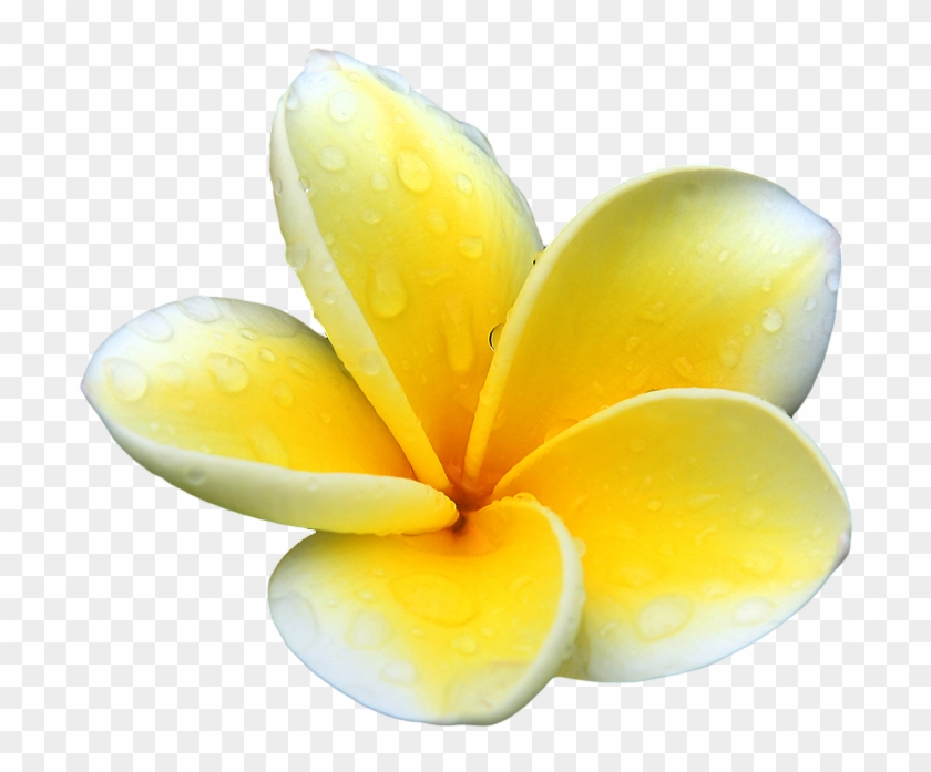 Our Powerful Organic Bio-active Ingredients Are Wild - Flower Plumeria Yellow Png #701592