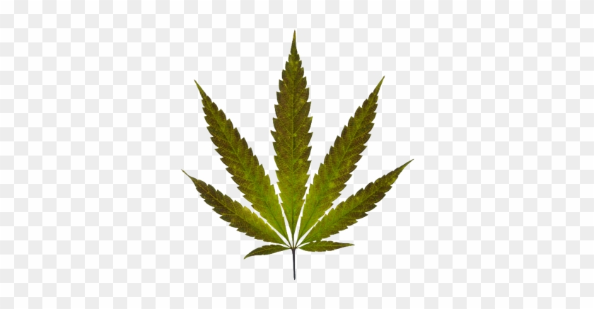 Coolest Marijuana Leaf Transparent Background Pin Free - Marijuana Leaf Real #712823