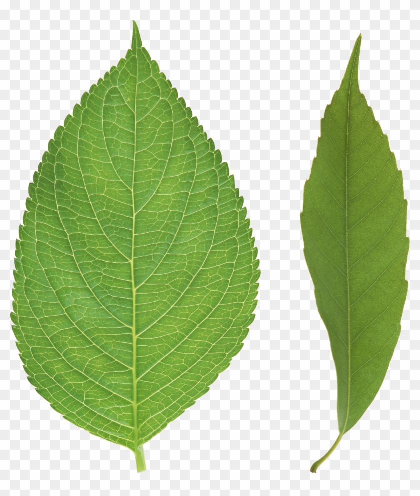 Leaf vectors, photos and psd files | free download.