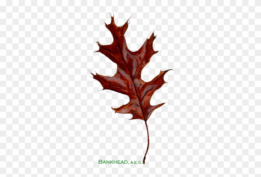 Bankhead American Entrepreneurial Group Is A Privately - Black Oak Leaf #759653