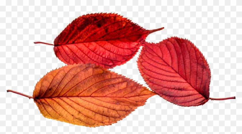 Autumn, Leaves, Leaf, Png, Transparent, Fall Color - Autumn Leaf Color #759655