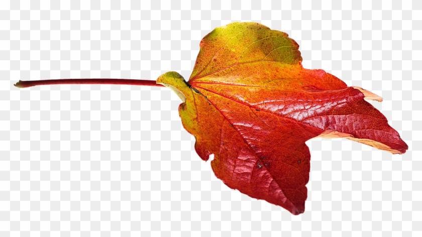 Autumn, Leaves, Leaf, Png, Transparent, Fall Color - Transparent Png Autumn Leaves #759671