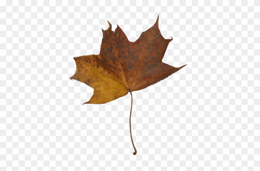 Autumn Maple Leaves - Maple Leaf #759894