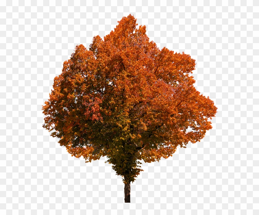 Autumn, Tree, Leaves, Color, Fall Foliage, Png, Oranges - Autumn Trees Png #760000