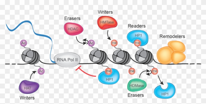 """""""chance Events Injuries, Infections, Infatuations - Epigenetic Readers Writers Erasers #760258"""