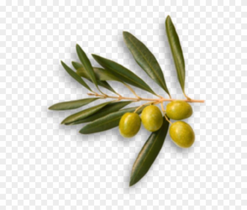 Story - 4ashton 100% Pure Olive Oil Essential 1 Fl.oz/30ml #761169