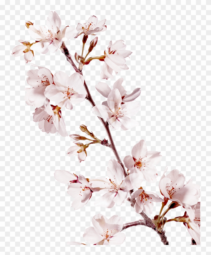 Sakura Png Background Image Petal Free Transparent Png Clipart