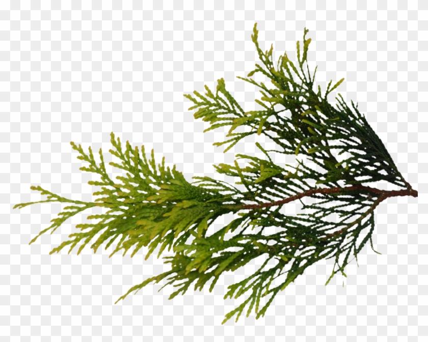La Rama Del Pino Mapeo De Texturas Fir Pastos - Conifer Branch Texture Transparent #762978