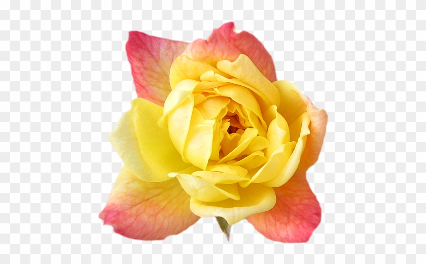 Yellow Rose Flower Wallpaper Clipart Flower Crown Png Free