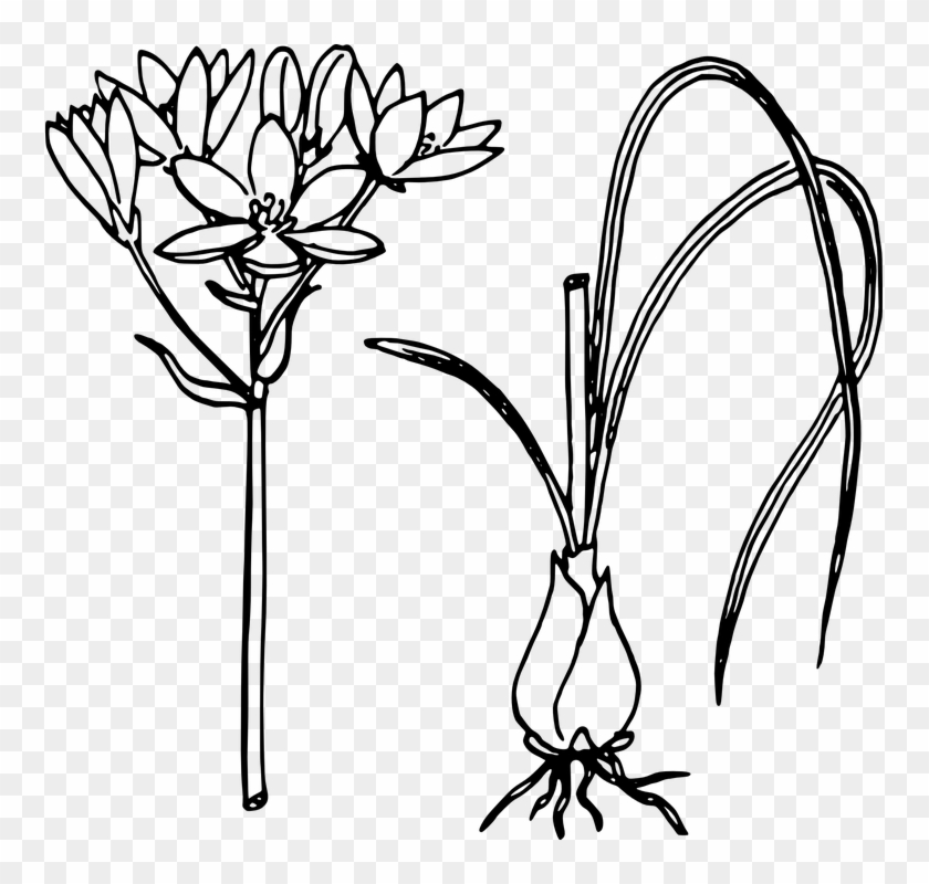 Lotus Flower Line Drawing 25 Buy Clip Art Sketch Of Onion Plant