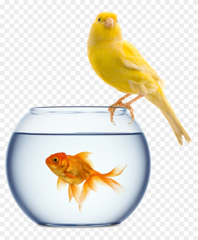 Click Here To Download Your - Pet Goldfish #773613
