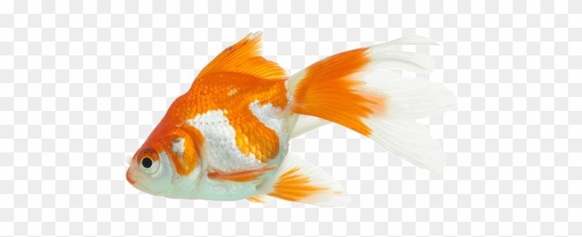 Step 7 Adding Fish - Goldfish #774087