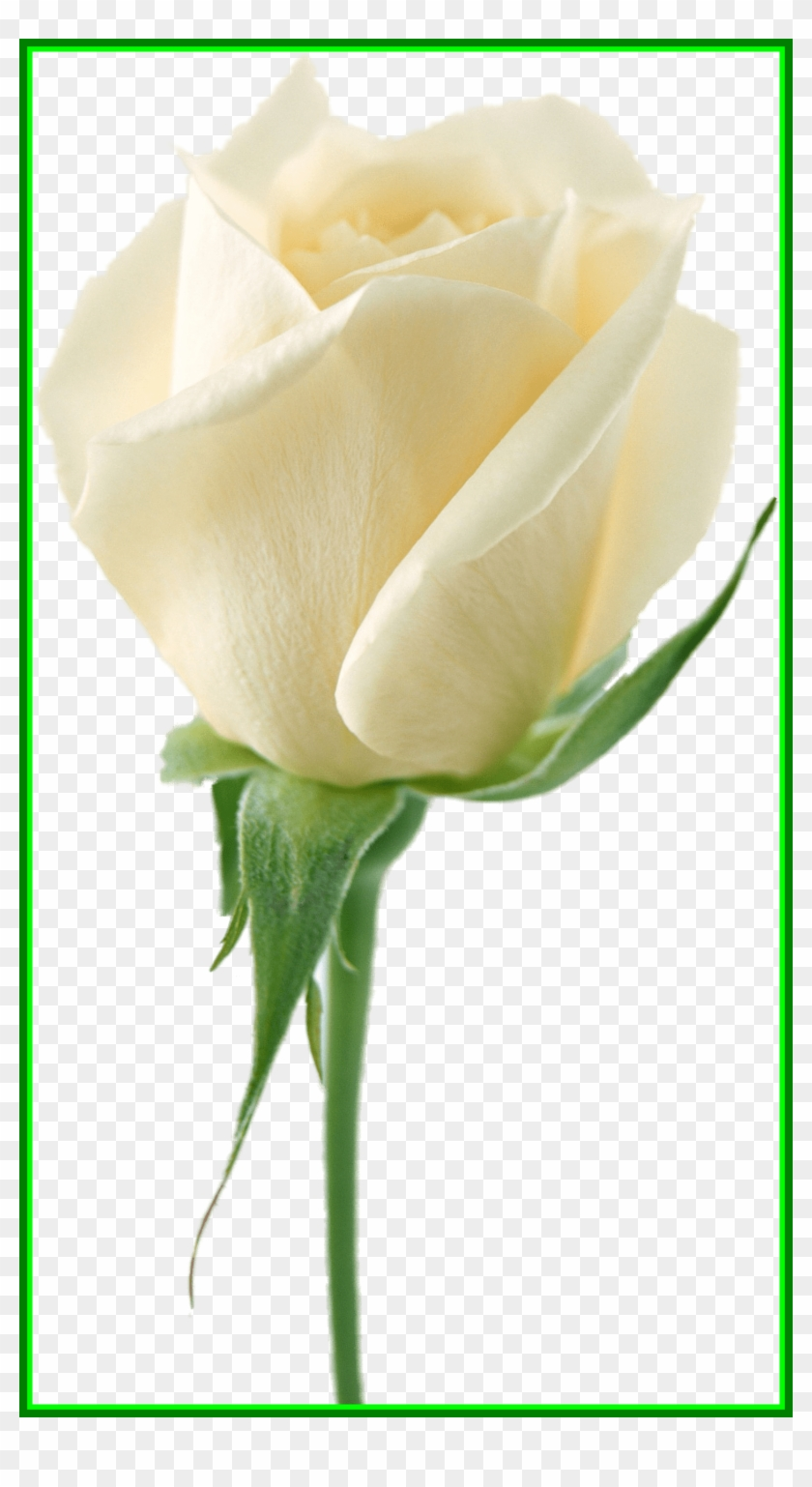Lily Flower Lily Flower No Background Astonishing White White Rose