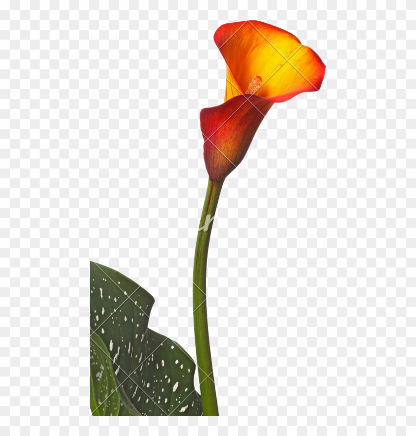 Single Flower Of An Orange Calla Lily And Partial Leaf - Orange Calla No Background #778770