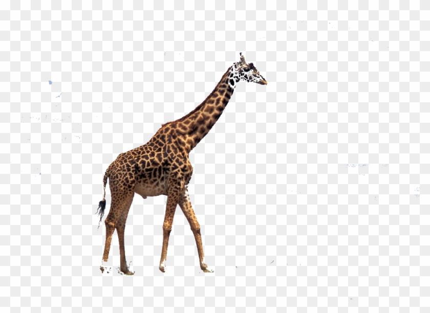 Download Free Christmas Giraffe Wallpapers