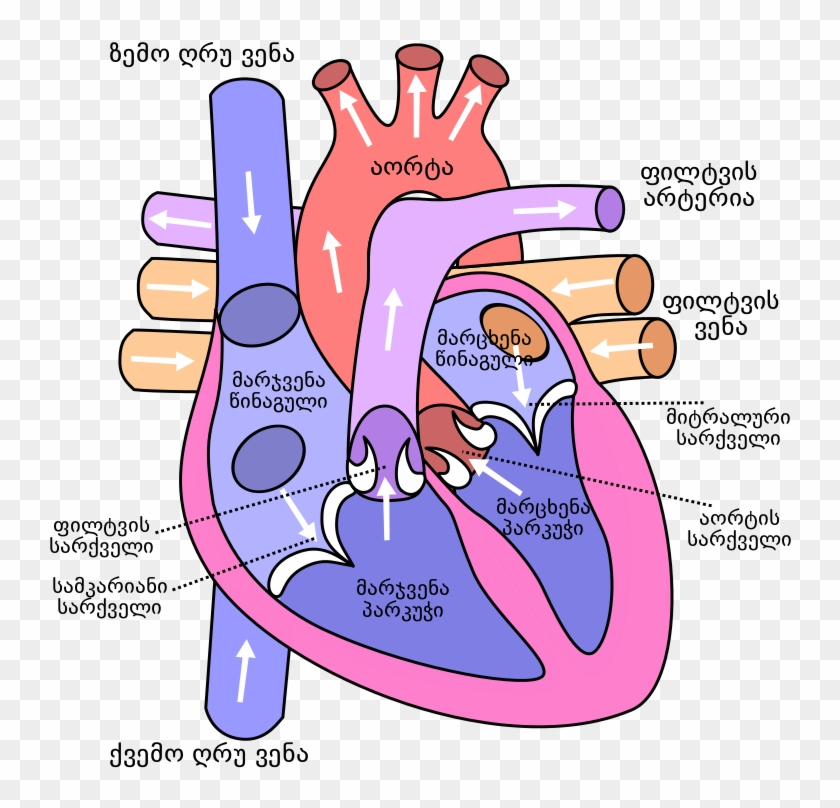 Anatomical Heart Pictures - Diagram Of The Human Heart #783296