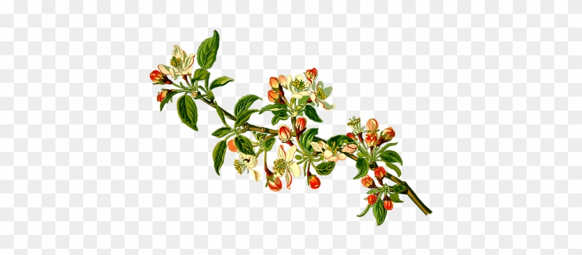 Apple Branch Deciduous Fruit Herbal Medici - Apple Tree Branch Clipart #792612