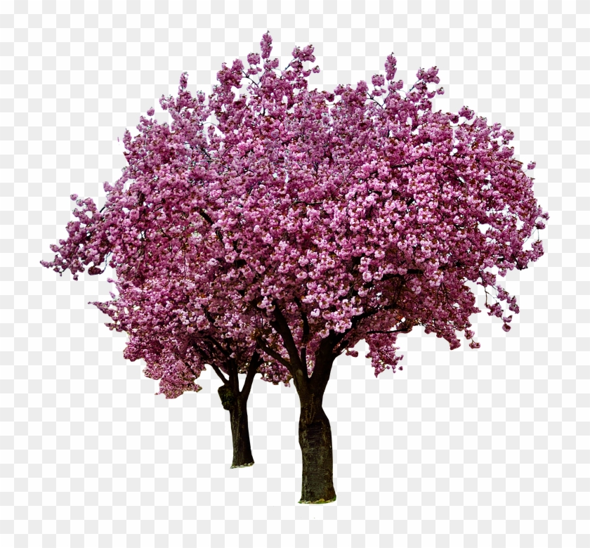 Cherry Blossoms, Spring, Bloom, Pink, Blossom, Flowers - Blossom Cherry Tree Transparent Background #796274