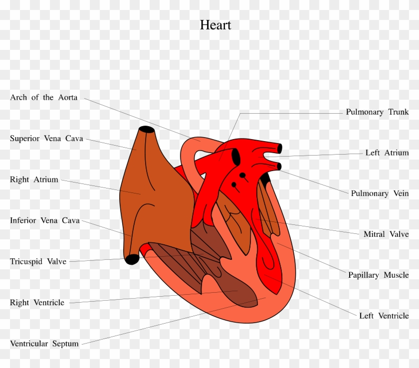 Medical Illustration Of A Human Heart - Grade 1 Lv Diastolic Dysfunction #798458