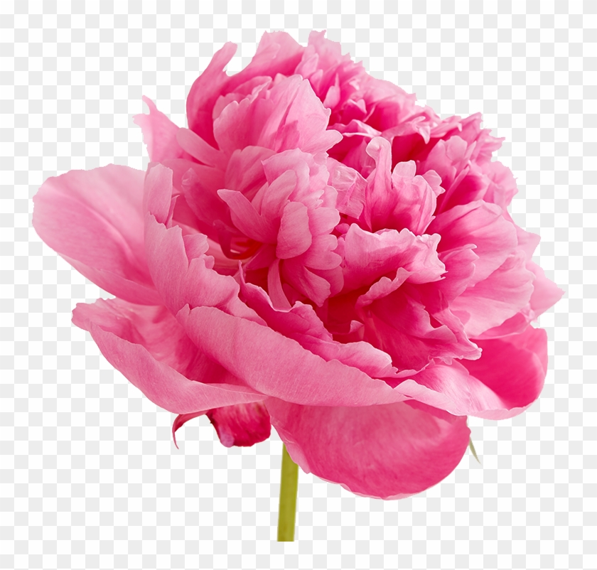 Peonies Png Image Valentines Day Flowers Quotes Free Transparent