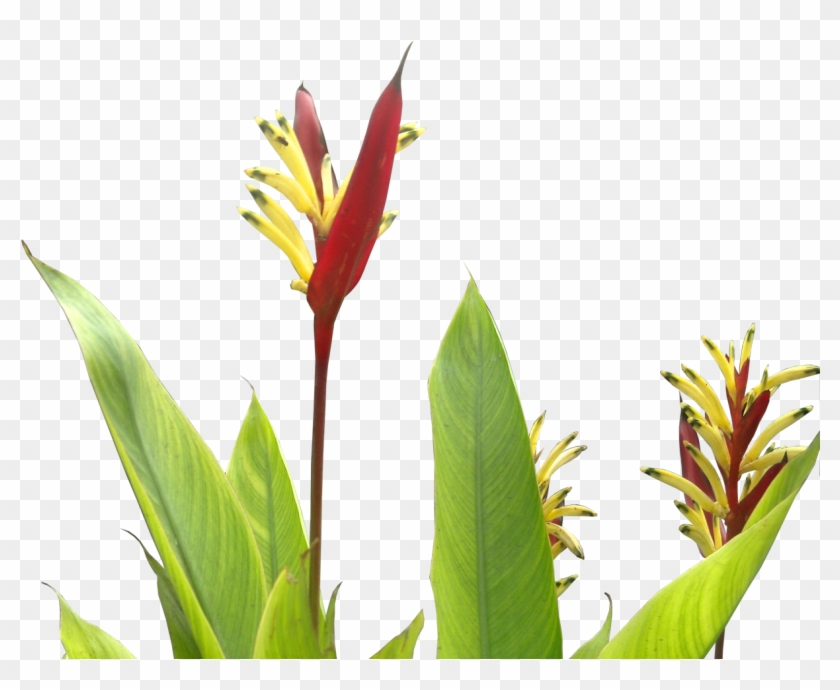Daily Clipart - Tropical Plants Flower Png #801940