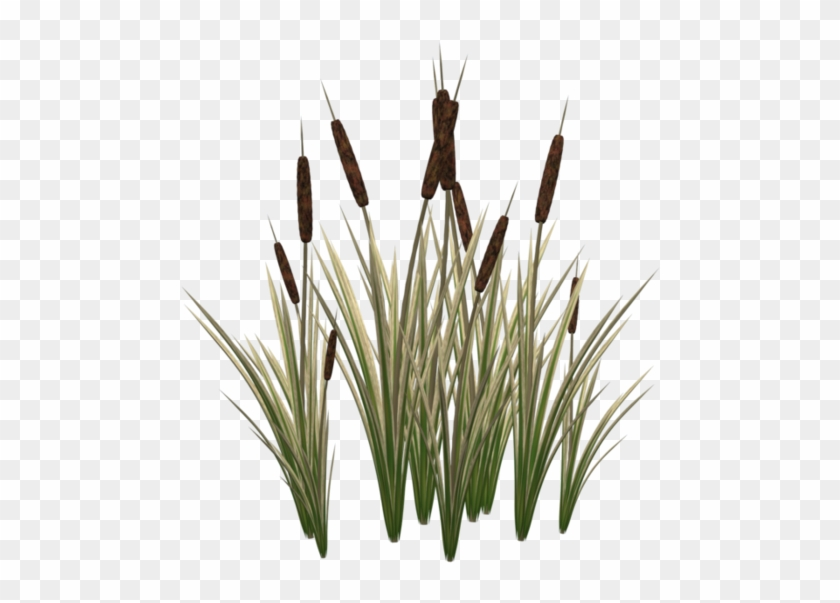 Typha Latifolia Cat Plant Tail Clip Art Cat Tail Plant Png Free