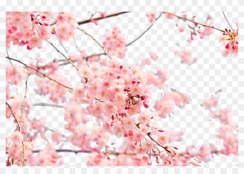 Japan Cherry Blossom 4k Resolution Wallpaper Cherry Blossom Wallpaper Png Free Transparent Png Clipart Images Download