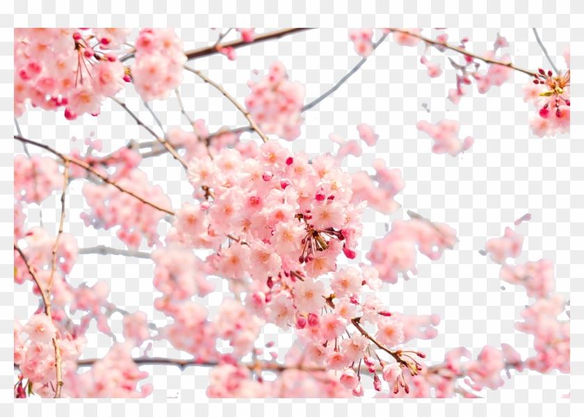 Japan Cherry Blossom 4k Resolution Wallpaper Cherry Blossom Wallpaper Png Free Transparent Png Clipart Images Download