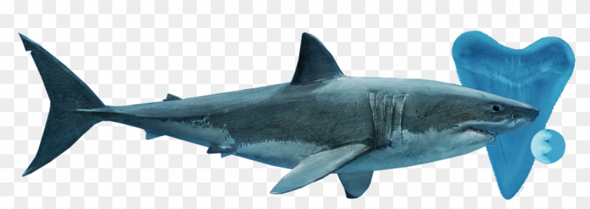 Posted Image - Great White Shark #805238