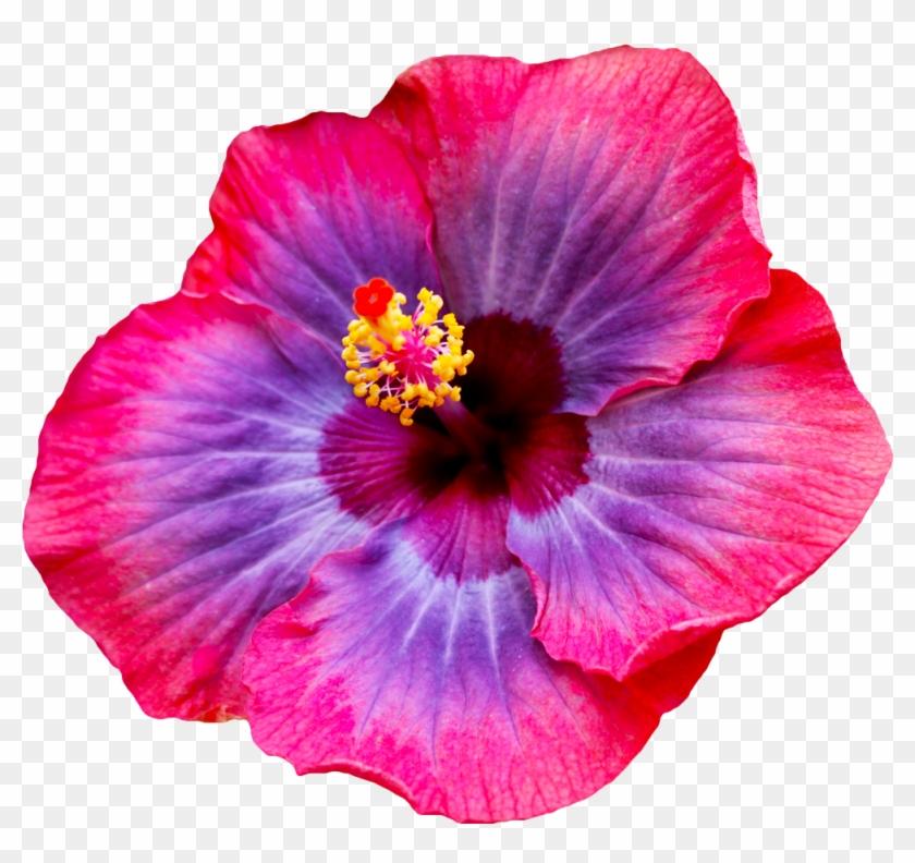 Red Hibiscus Flower Clipart Hibiscus Flower Transparent Free