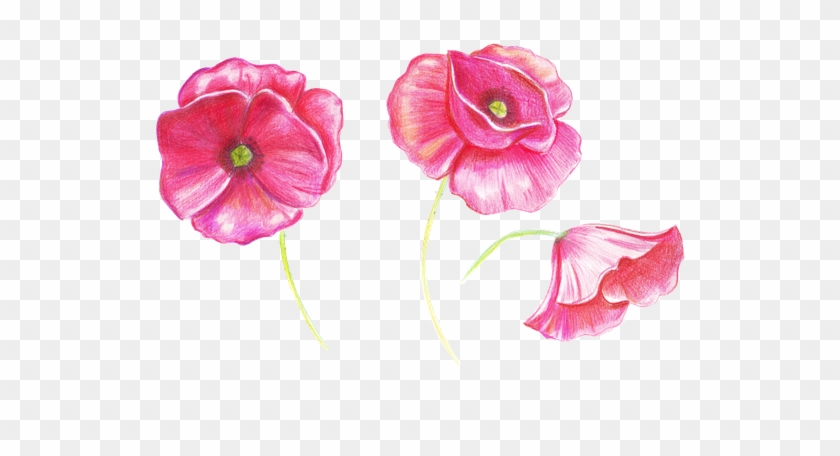 Hand Drawing Sketch Poppy Flower Drawing Free Transparent Png