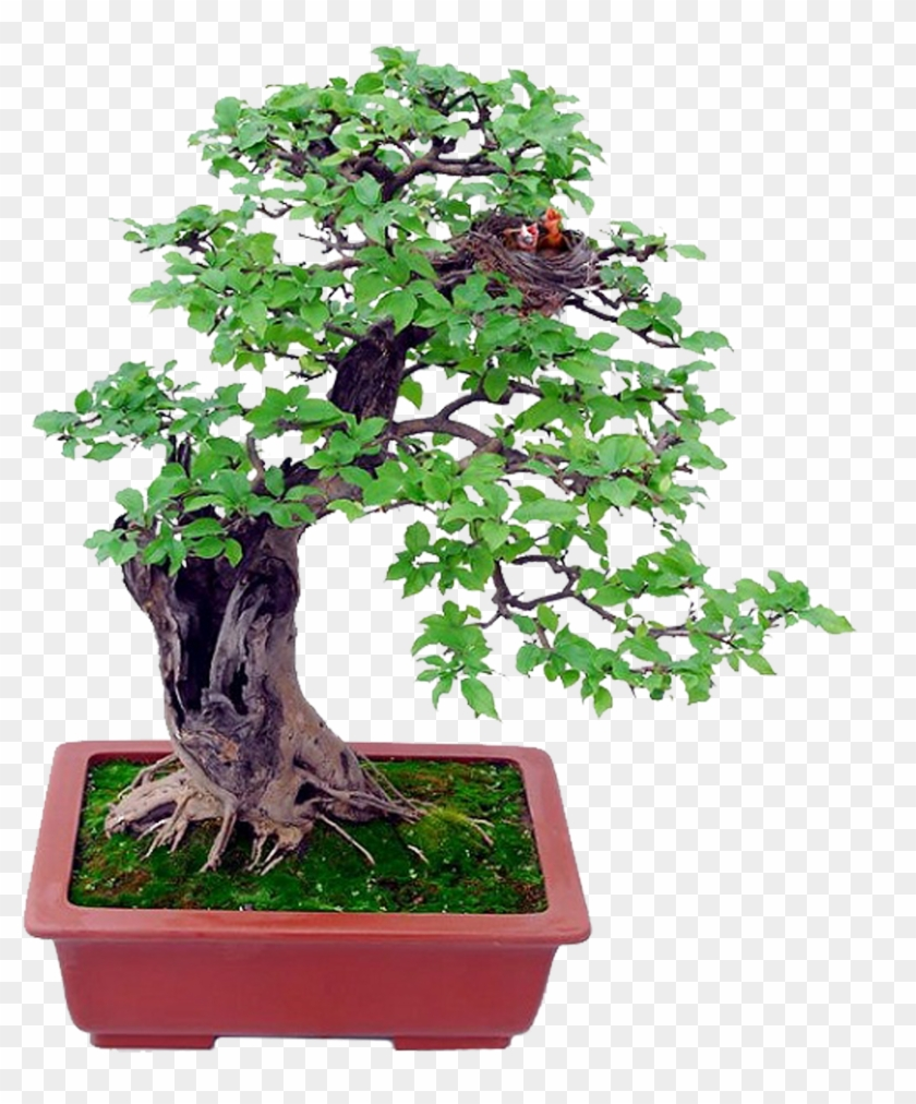 Bonsai Basics Beginning Bonsai - Bonsai Basics Beginning Bonsai #806805