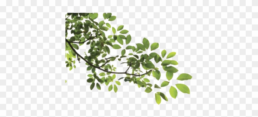 Tree Leaves - Branch With Leaves Png #807138