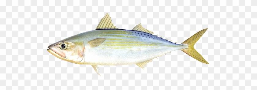 羽 - Coastal Cutthroat Trout #810781
