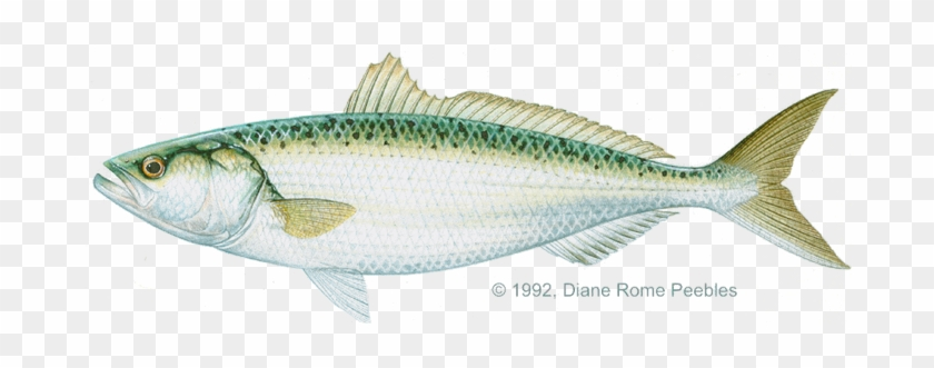 Kahawai - Oily Fish #810885
