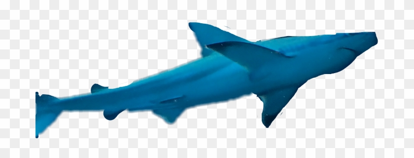 More - Bronze Hammerhead Shark #811903