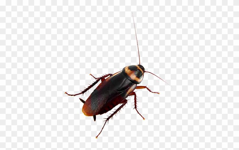 Bu-69 - Michigan Cockroach #813646