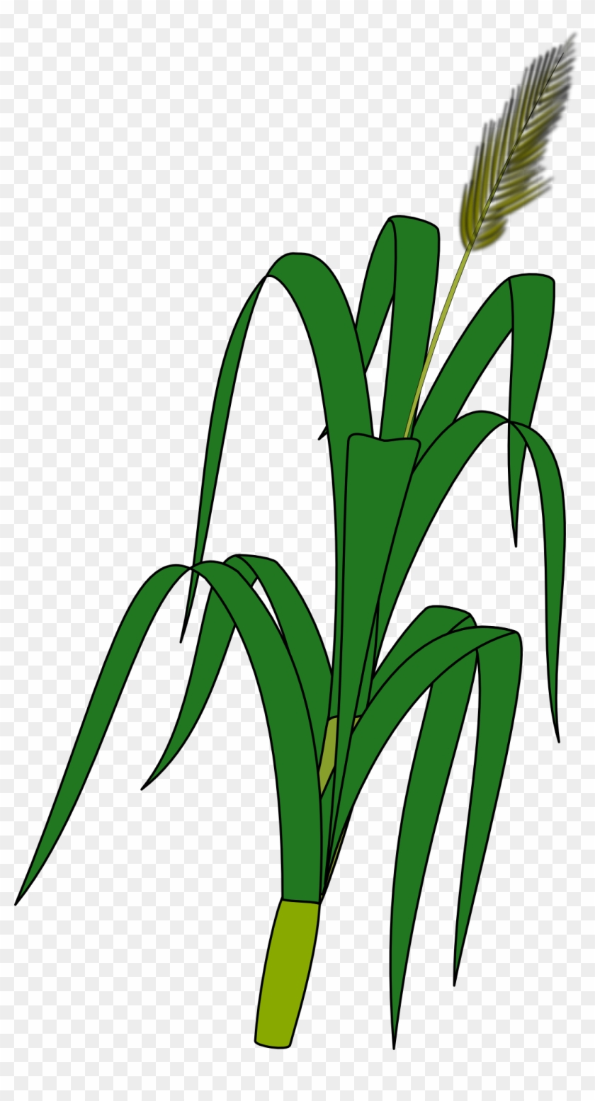 wheat plant to draw free transparent png clipart images download
