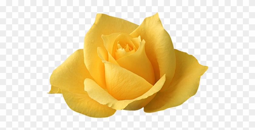 Izobrazhenie Dlya Plejkasta Single Yellow Rose Flowers Free