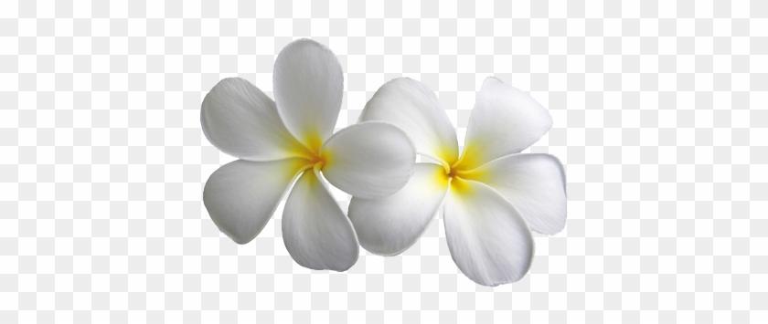 Plumeria transparent flowers png mightylinksfo white flower png plumeria transparent flowers png mightylinksfo white flower png mightylinksfo