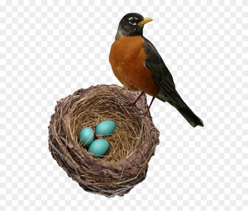 Robins Nest Web - Robin Bird In Nest #823006