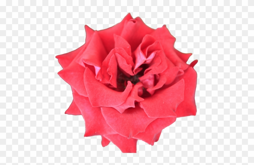 Red beautiful rose flower bright color plant with alpha small red beautiful rose flower bright color plant with alpha small flower transparent background mightylinksfo