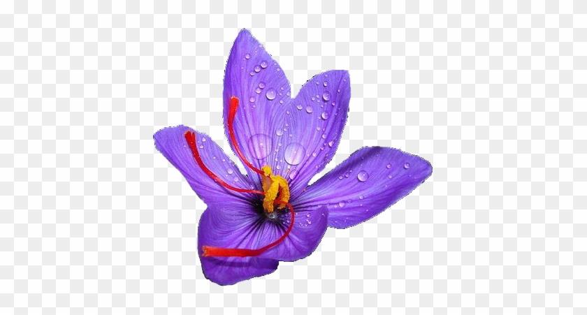 Saffron Harvesting Steps - 20 Saffron Crocus - Crocus Sativus Corms  829937 e018a3269c3