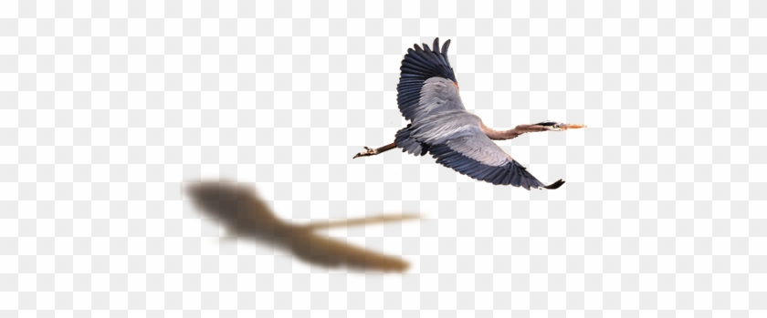 Flying Bird Png - Great Blue Heron - Free Transparent PNG