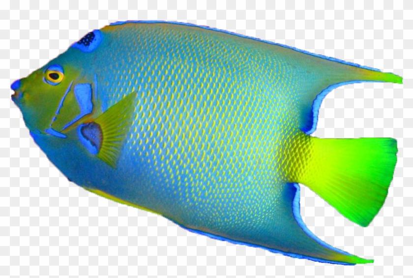 Transparent Background Fish Www Imgkid Com The Image - Colorful Fish Transparent Background #838394